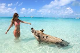 Hòn đảo nơi lợn biết bơi ra biển xin ăn