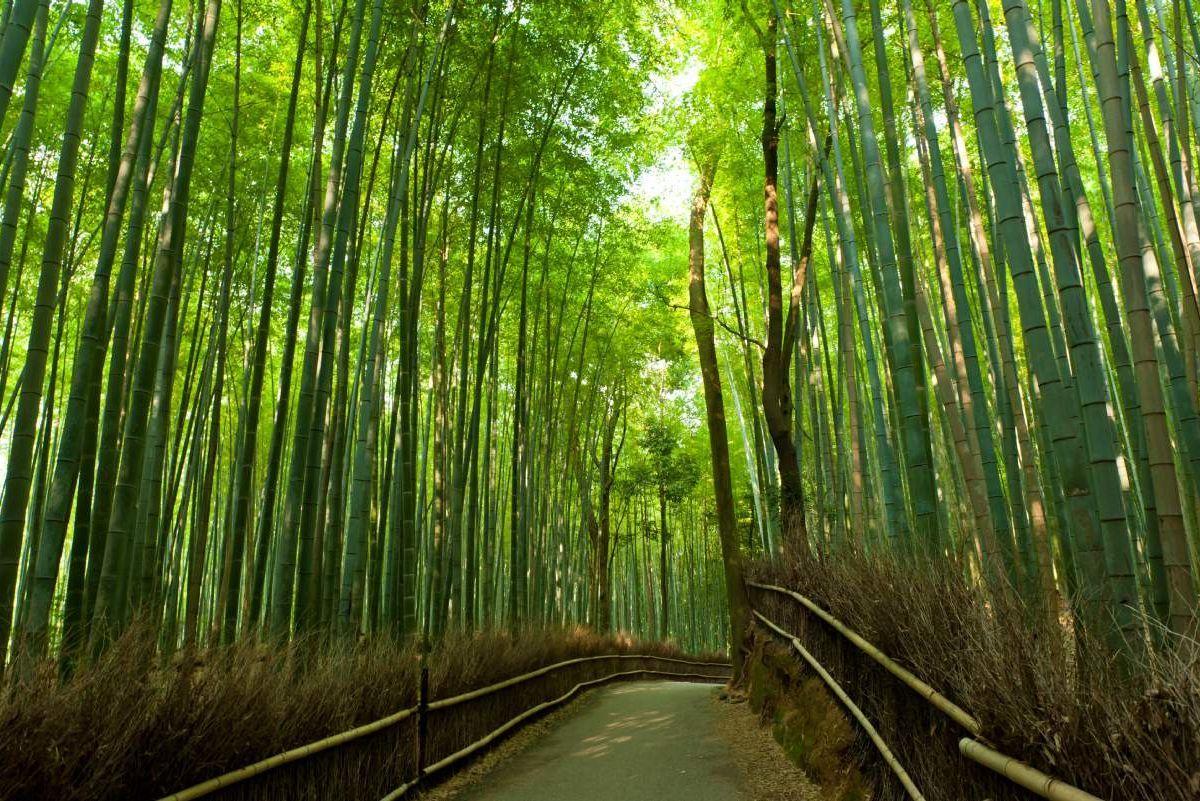 Rừng tre Sagano đẹp mê hồn xứ Phù Tang