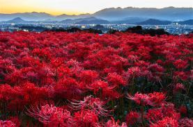 Mùa hoa bỉ ngạn đỏ rực khắp Nhật Bản