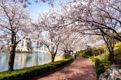 HÀN QUỐC MÙA HOA ANH ĐÀO: SEOUL - NAMI - EVERLAND