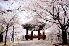 HÀN QUỐC mùa hoa anh đào: SEOUL - JEJU - NAMI - EVERLAND