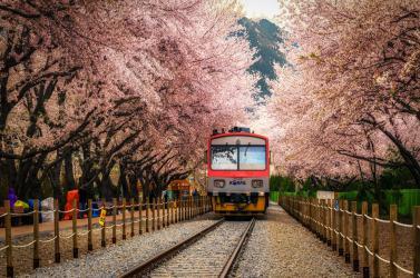 HÀN QUỐC HOA ANH ĐÀO: SEOUL - JEJU - NAMI - EVERLAND
